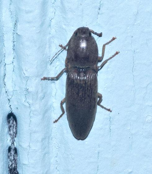 Click Beetle - Conoderus lividus