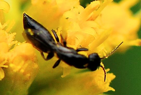 Bethylid Wasps Genus Goniozus  - Goniozus