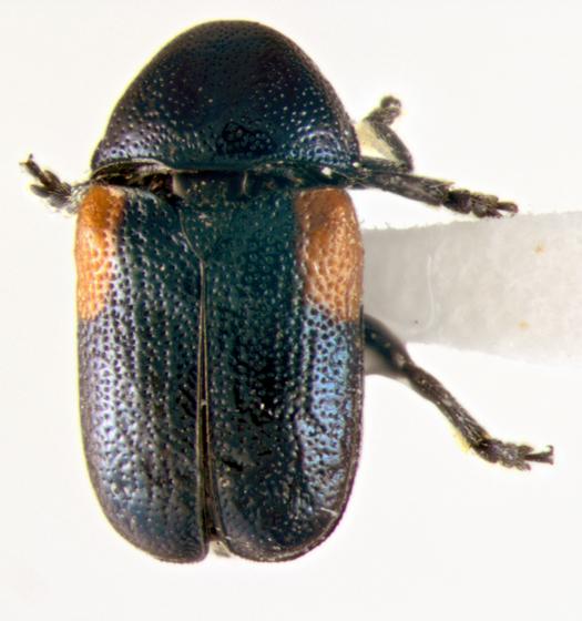 Chrysomelidae, Case-bearing, dorsal - Saxinis omogera