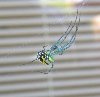 spider striped body and leggs