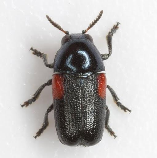 Saxinis sinuata Schaeffer - Saxinis sinuata