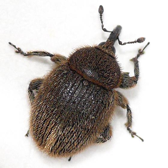 Gymnetron from Virginia (1) 10.06.17 - Rhinusa tetra - male