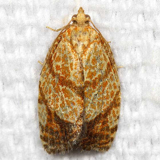 Lesser All-green Leafroller - Hodges#3621 - Argyrotaenia quadrifasciana