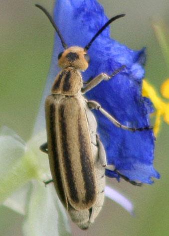 Blister beetle - Epicauta strigosa