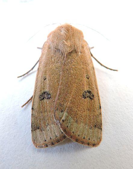 Moth - Dichagyris triphaenoides