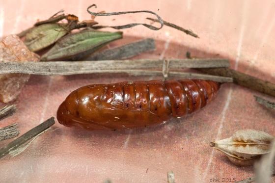 Clouded Crimson Moth pupa - Schinia gaurae