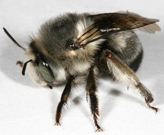 Nevada bee - Anthophora