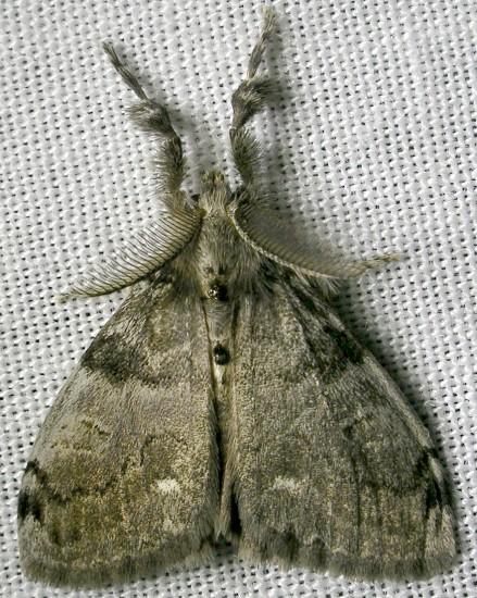 tussock moth - Orgyia leucostigma