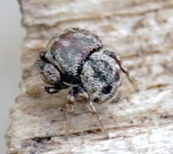 Jumping Spider - Rhetenor texanus - male