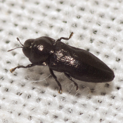 Metallic Wood-boring Beetle - Aphanisticus cochinchinae