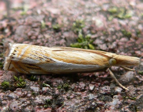 Double-banded Grass-veneer - Crambus agitatellus