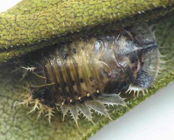 Cassidini on bindweed. Pupa - Charidotella sexpunctata