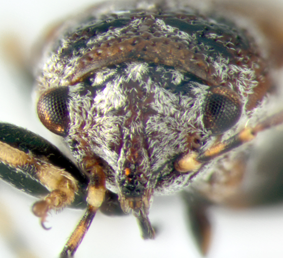 Pachygronthidae, frontal - Phlegyas abbreviatus