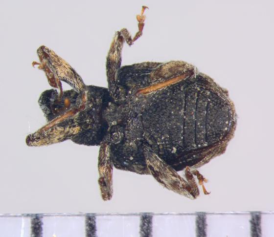 Curculionidae, ventral - Conotrachelus seniculus