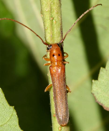 Long-horned Beetle - Oberea deficiens