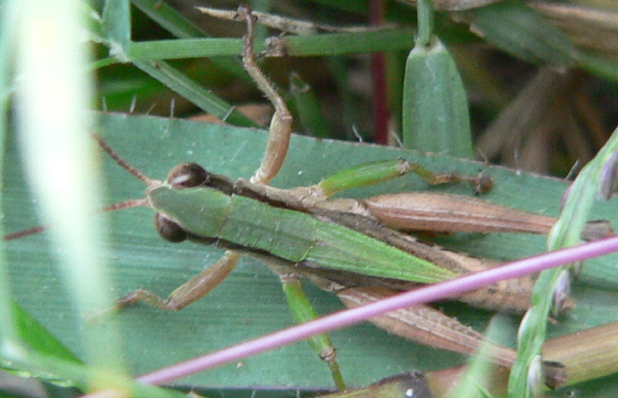 Short-winged Green Grasshopper - Dichromorpha viridis - male
