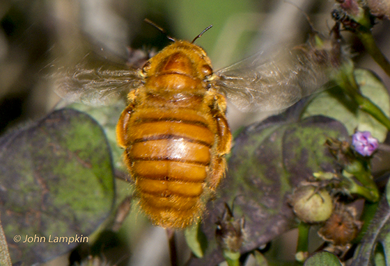 Xylocopa varipuncta in Florida - Xylocopa - male
