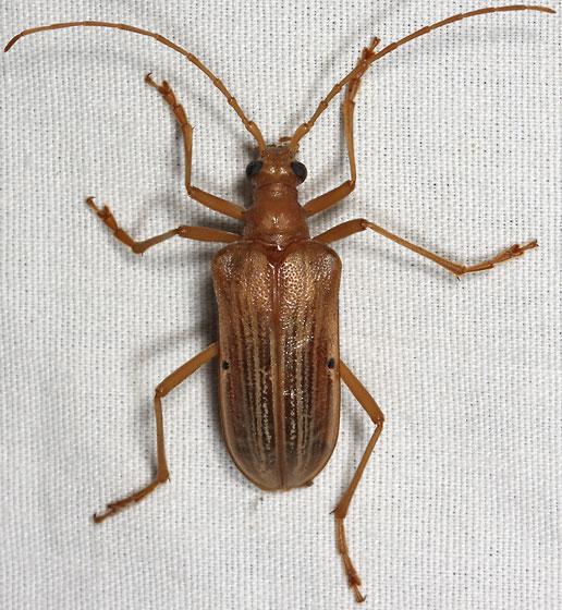 cerambycid - Centrodera spurca