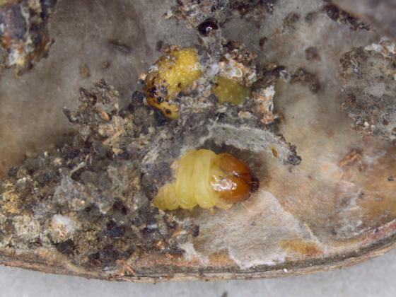 Olethreutinae, larva - Grapholita tristrigana