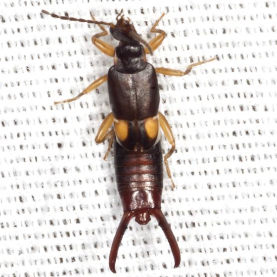 Little Earwig - Vostox brunneipennis - male