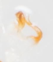 Erythroneura octonotata - male