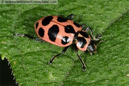 Coleomegilla maculata, pink spotted lady beetle - Coleomegilla maculata