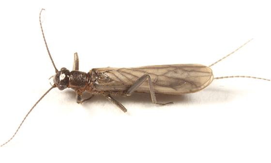 Small Winter Stonefly - Allocapnia maria - female
