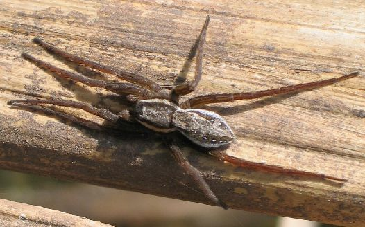 white-spotted spider - Dolomedes triton