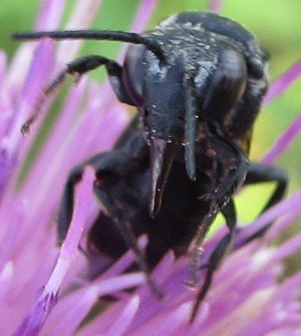 Bee - Triepeolus donatus
