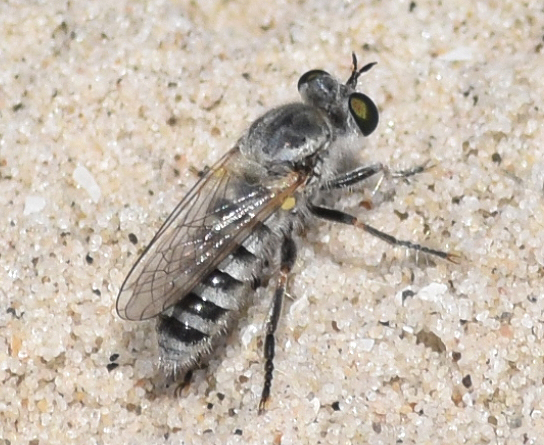 robber fly  - Laphystia texensis