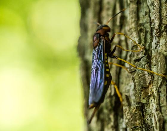 Saw Fly? - Tremex columba
