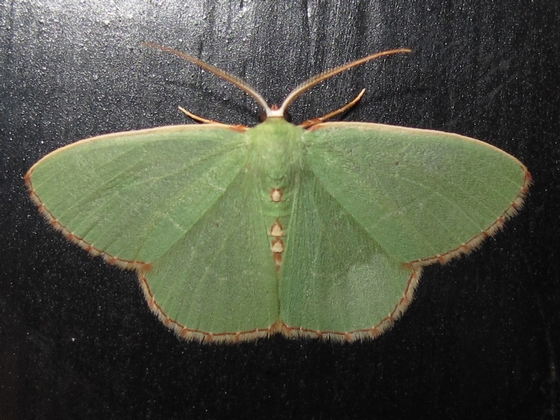 Hodges #7033 - Red-fringed Emerald - Nemoria lixaria - male