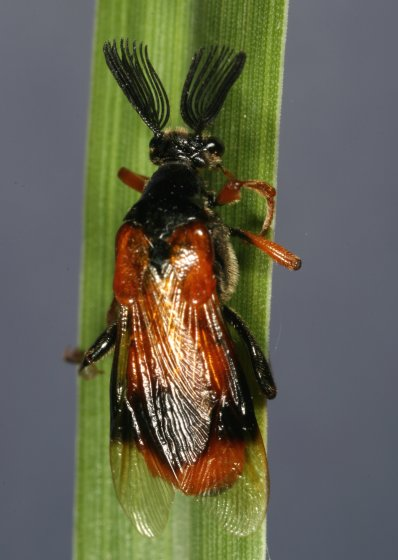 Ripiphorus species - Ripiphorus - male