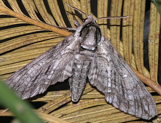 Waved Sphinx Moth - Ceratomia undulosa