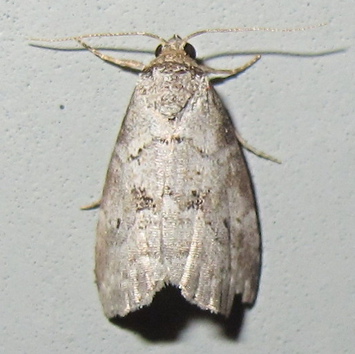 Hodges #9037 - Dotted Graylet Moth - Hyperstrotia pervertens