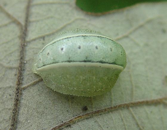 Shagreened Slug Moth larva - Apoda biguttata
