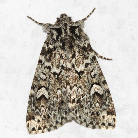 moth - Xestia perquiritata