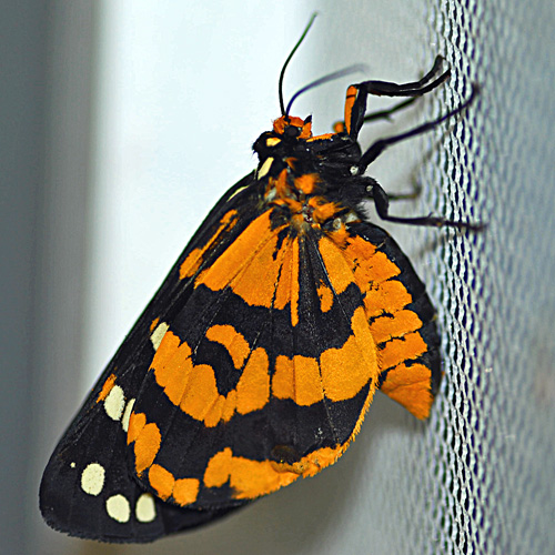 Ranchman's tiger moth - Arctia virginalis - female