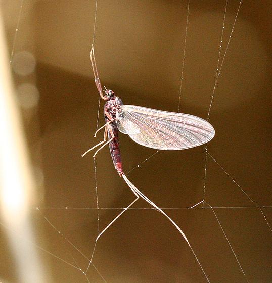 Purple Mayfly - Paraleptophlebia