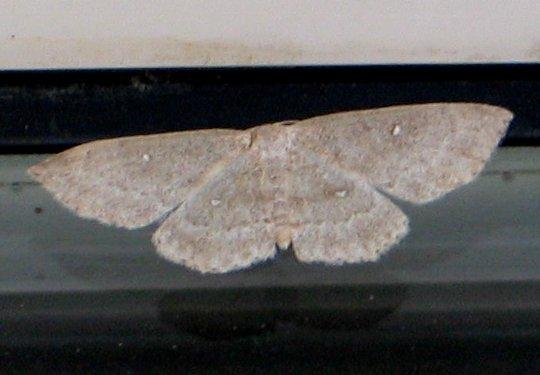 Sweetfern Geometer - Cyclophora pendulinaria