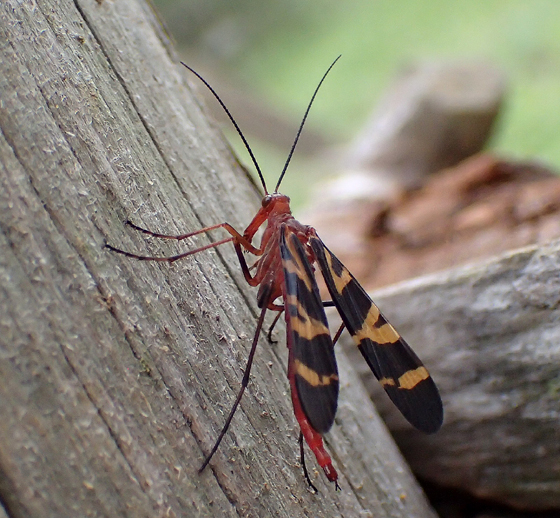 Panorpa - Panorpa nuptialis