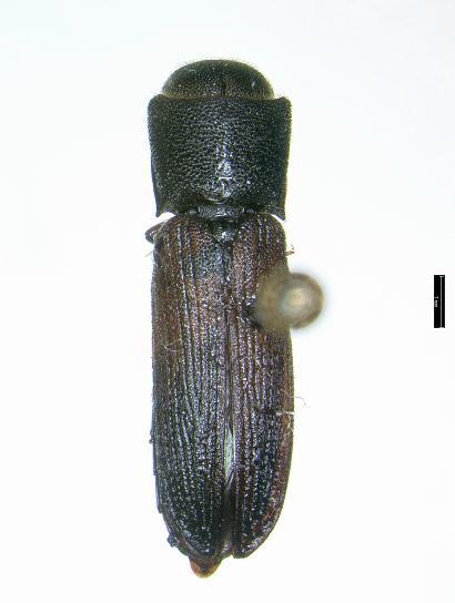 Melasis rufipennis Horn - Melasis rufipennis