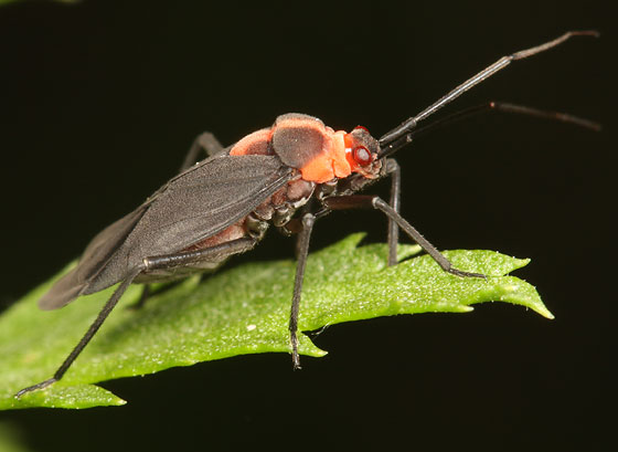 plant bug - Prepops