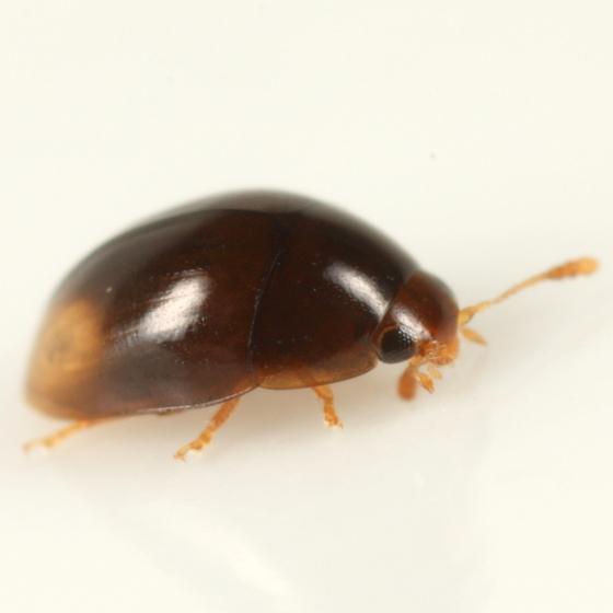 Bidens beetle 1 - Stilbus apicalis
