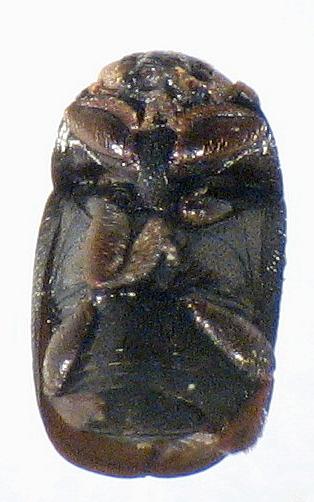 Ptiliidae - Fabogethes nigrescens