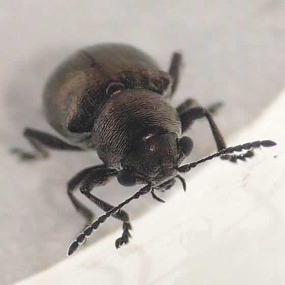 Leaf beetle 10.05.29 (1) - Graphops curtipennis