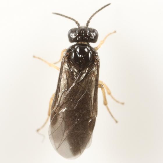 Fenusa julia - female