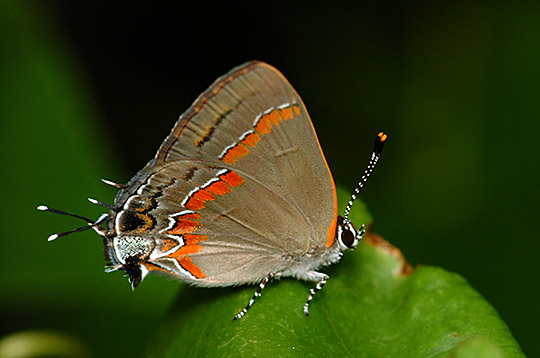 Butterfly - Calycopis cecrops