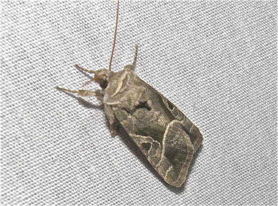Brown and Gold Moth - Hexorthodes accurata
