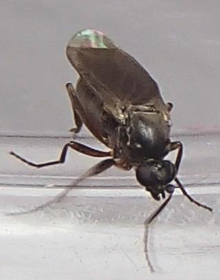 Fly? - Gymnophora